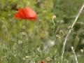 Poppy flower in the field